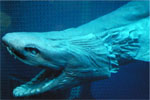 Ancient Shark